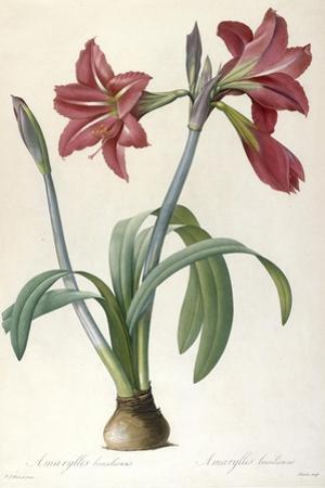Amaryllis Brasiliensis (Brazilian Amaryllis), 1816 by Pierre Joseph Redoute