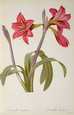Amaryllis Brasiliensis, from `Les Liliacees' by Pierre Redoute, 8 Volumes, Published 1805-16, by Pierre-Joseph Redouté