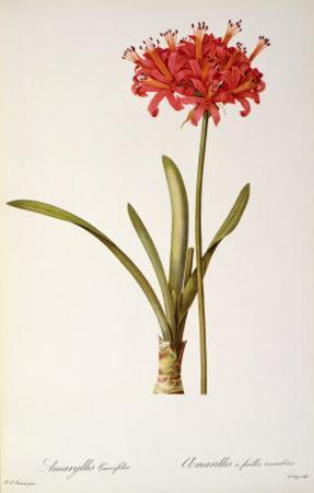 """Amaryllis Curvifolia from """"Les Liliacees"""", 1809 by Pierre-Joseph Redouté"""