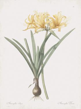 Amaryllis Doree by Pierre Joseph Redoute
