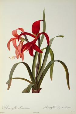 Amaryllis Formosissima, 1808, from 'Les Liliacees' by Pierre Redoute, 8 Volumes, Published 1805-16 by Pierre-Joseph Redouté