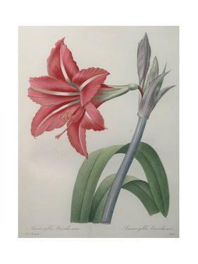 Amaryllis by Pierre-Joseph Redoute