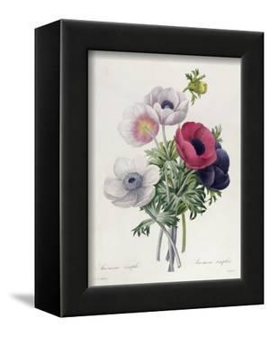 """Anemone: Simple, from """"Les Choix Des Plus Belles Fleurs"""" by Pierre-Joseph Redouté"""
