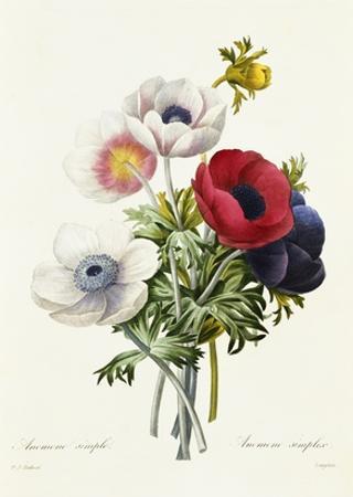 Anemone Simplex by Pierre-Joseph Redouté