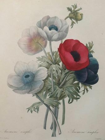 Anemone by Pierre-Joseph Redoute