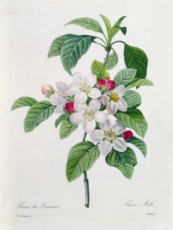 """Apple Blossom, from """"Les Choix Des Plus Belles Fleurs"""" by Pierre-Joseph Redouté"""