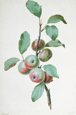 Apples by Pierre-Joseph Redouté