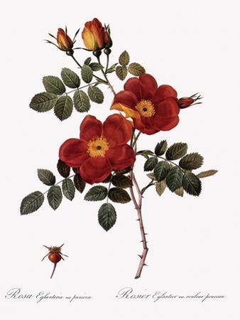 Austrian Copper Rose by Pierre Joseph Redoute