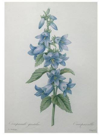 Bellflower by Pierre-Joseph Redoute