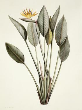 Bird of Paradise; Strelitzia Reginae by Pierre-Joseph Redouté