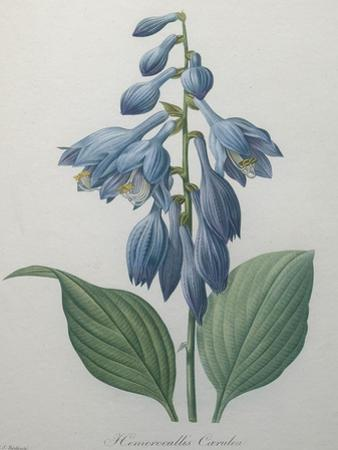 Blue Day Lillies by Pierre-Joseph Redoute
