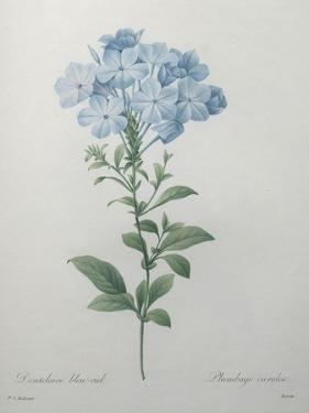 Blue Plumbago or Leadwart by Pierre-Joseph Redoute