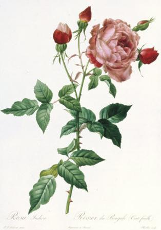 Bouquet of Rose, Anemone and Clematis by Pierre-Joseph Redouté