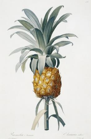 Bromelia ananas by Pierre-Joseph Redouté