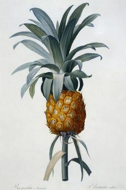 Bromelia Ananas by Pierre Joseph Redoute