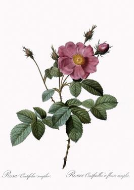 Cabbage Rose by Pierre Joseph Redoute