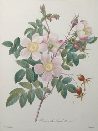Candolle Rose by Pierre-Joseph Redoute