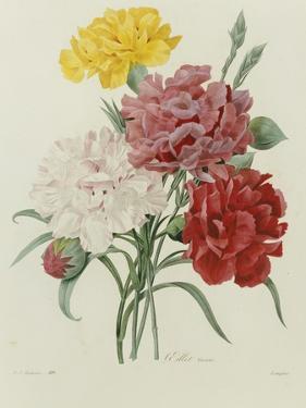 Carnation, circa 1833 by Pierre-Joseph Redouté