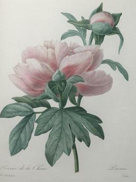 Chinese Peony by Pierre-Joseph Redoute