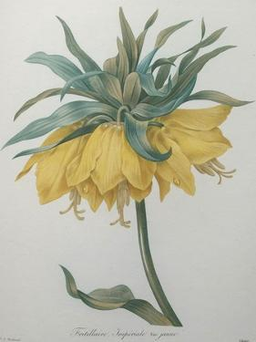 Crown Flower - Fritillaire by Pierre-Joseph Redoute