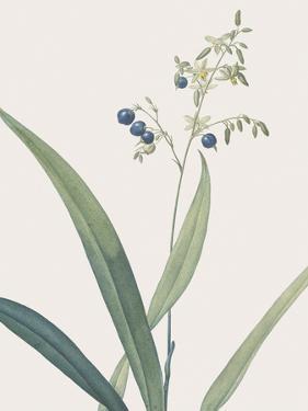 Dianella Ensifolia - Focus by Pierre Joseph Redoute