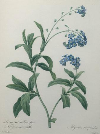 Forget-Me-Not by Pierre-Joseph Redoute