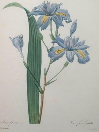Fragrant Iris