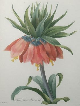 Fritillaire - Imperial Crown Flower by Pierre-Joseph Redoute