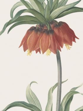 Fritillaria Imperialis - Focus by Pierre Joseph Redoute