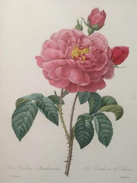 Golden Rose or La Duchesse d'Orleans by Pierre-Joseph Redoute