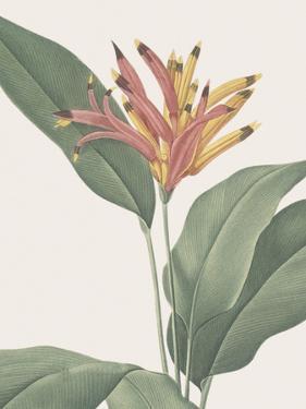 Heliconia Psitaccorum - Focus by Pierre Joseph Redoute