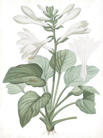 Hemerocallis Japonica - Fair by Pierre Joseph Redoute