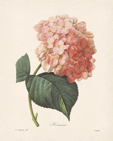 Hortensia by Pierre-Joseph Redouté