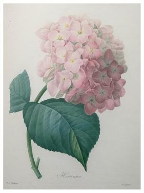 Hydrangea by Pierre-Joseph Redoute