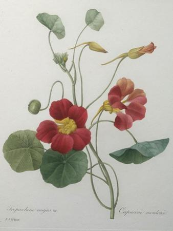 Indian or Capucine Monk's Cress by Pierre-Joseph Redoute