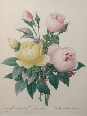 Indian or Rose of Bengal by Pierre-Joseph Redoute