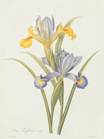 Iris (Colour Engraving) by Pierre-Joseph Redouté