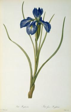 Iris Xyphioides, from `Les Liliacees', 1808 by Pierre-Joseph Redouté