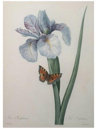 Iris by Pierre-Joseph Redoute