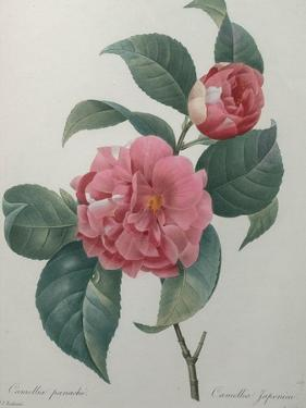 Japanese Camellia by Pierre-Joseph Redoute