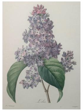 Lilacs by Pierre-Joseph Redoute