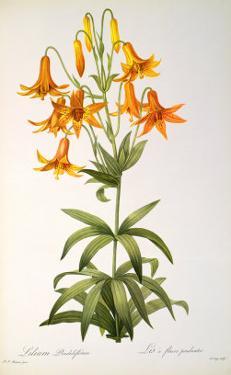 Lilium Penduliflorum, from Les Liliacees, 1811 by Pierre-Joseph Redouté