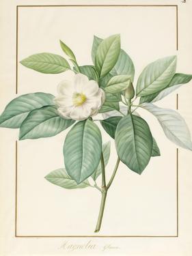 Magnolia Glauca, 1811 by Pierre Joseph Redoute