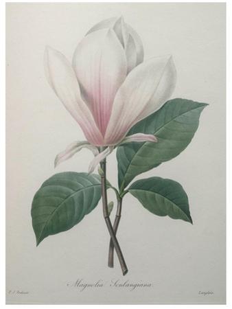 Magnolia Soulangiana by Pierre-Joseph Redoute