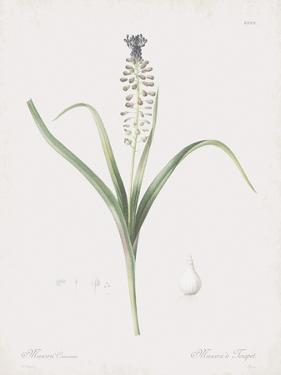 Muscari Comosum by Pierre Joseph Redoute