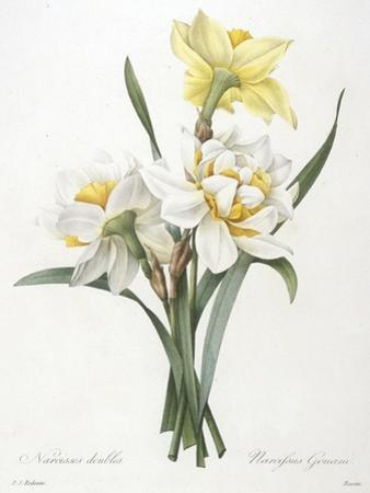 Narcissus Gouani (Double Daffodil), 1827 by Pierre Joseph Redoute