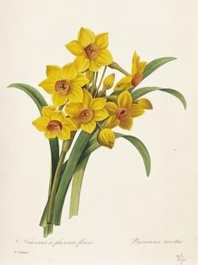 Narcissus by Pierre-Joseph Redouté