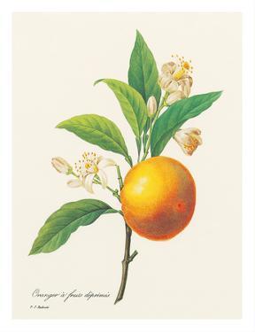 Orange Fruit - From the Book: Choix des Plus Belles Fleurs by Pierre-Joseph Redouté