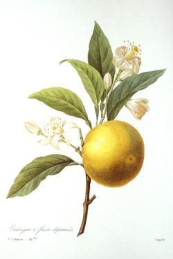 Orange Tree by Pierre-Joseph Redouté