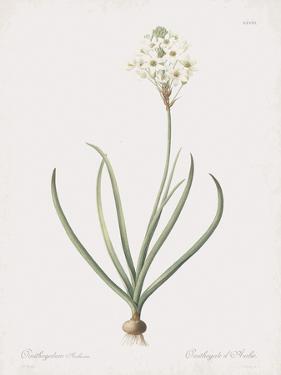 Ornithogalum Arabicum by Pierre Joseph Redoute